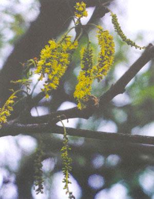 Caldén Prosopis caldenia