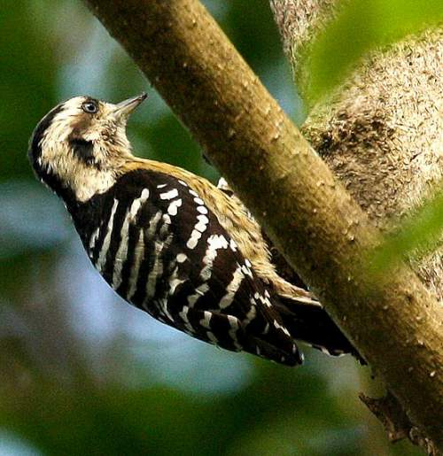 Indian birds - Picture of Grey-capped pygmy woodpecker - Picoides canicapillus
