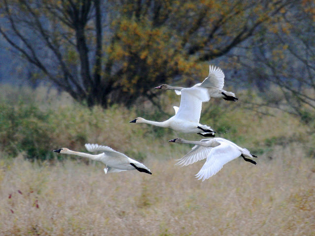 Figure 13: Birds push their wings forward on the downstroke—especially at slow speeds—as shown by the Tundra Swan on the bottom right.