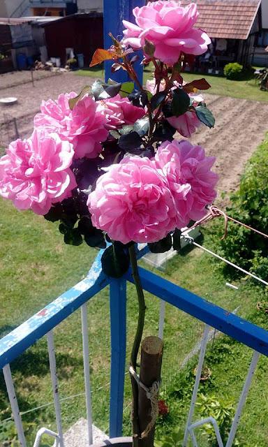 Prvo cvijetanje ruže stablašice