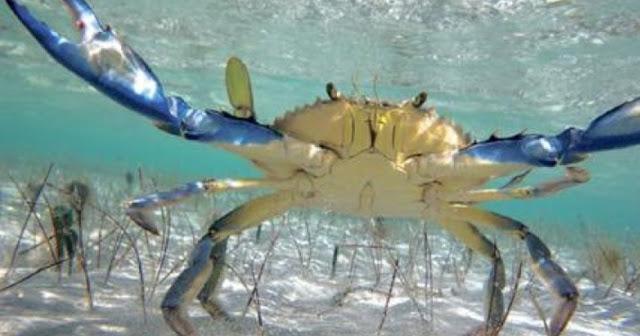 Παράνομες παγίδες για μπλε καβούρια στη λιμνοθάλασσα της Σαγιάδας