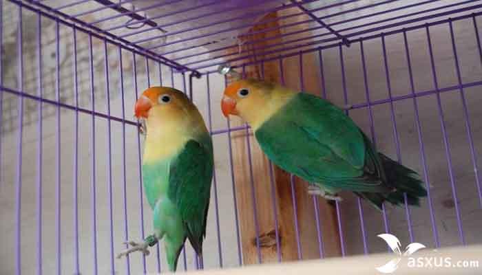 Lovebird Parblue - Jenis, Warna, Ciri-ciri dan Harganya