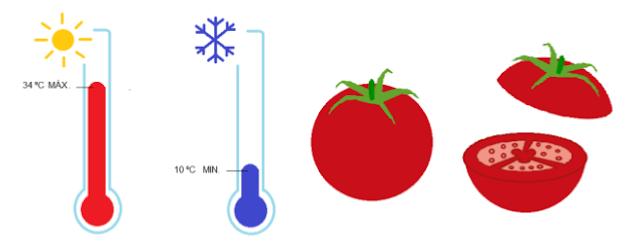 A influência da Temperatura no desenvolvimento do Tomateiro