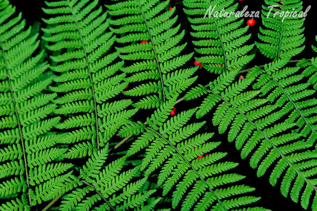 Naturaleza tropical qu son los helechos - Cuidados de los helechos ...