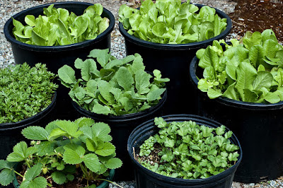 How to Growing Vegetables in Pots
