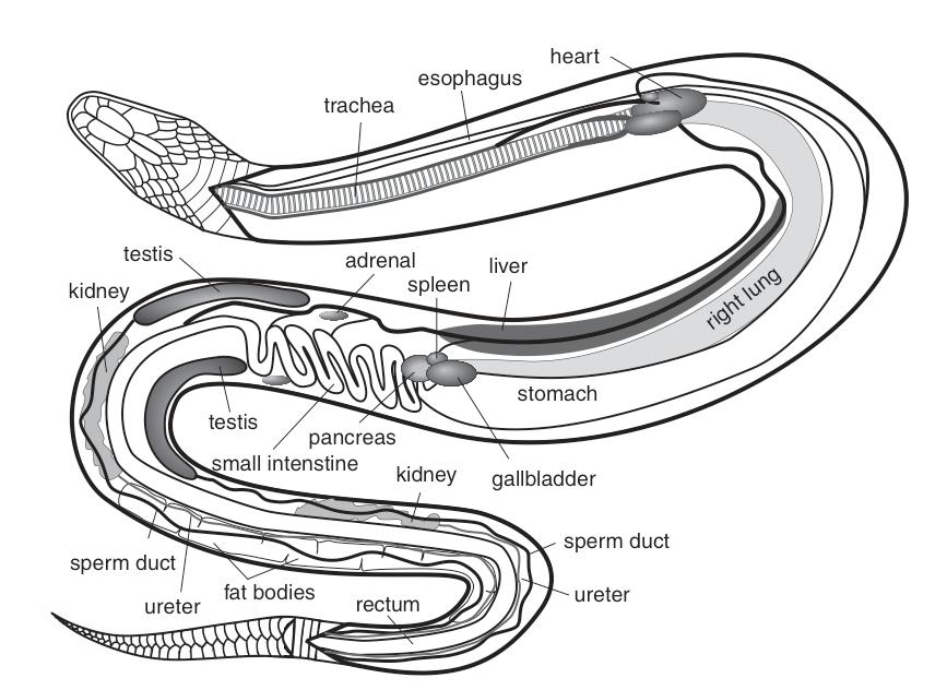 Snake brain anatomy