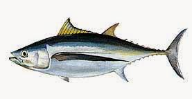 Gambar Ikan Tongkol Dunia Binatang
