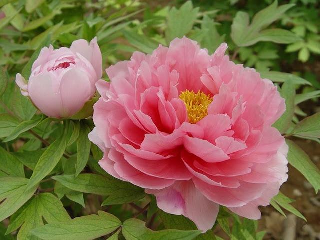 Hoa Mẫu Đơn - Paeonia suffruticosa - Nguyên liệu làm thuốc Chữa Cảm Sốt