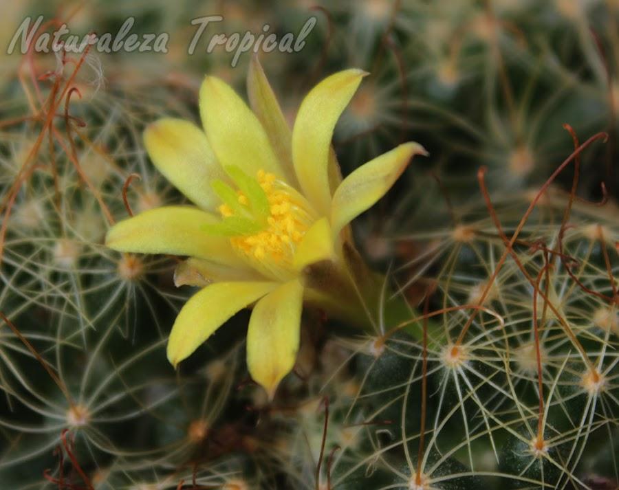 Vista lateral de la flor del cactus Mammillaria surculosa