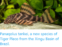 http://sciencythoughts.blogspot.co.uk/2016/12/panaqolus-tankei-new-species-of-tiger.html