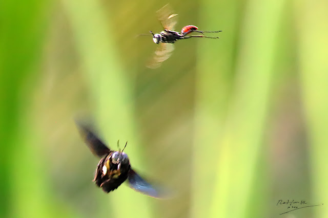 Carpenter Bee chasing away an insect, protecting its territory