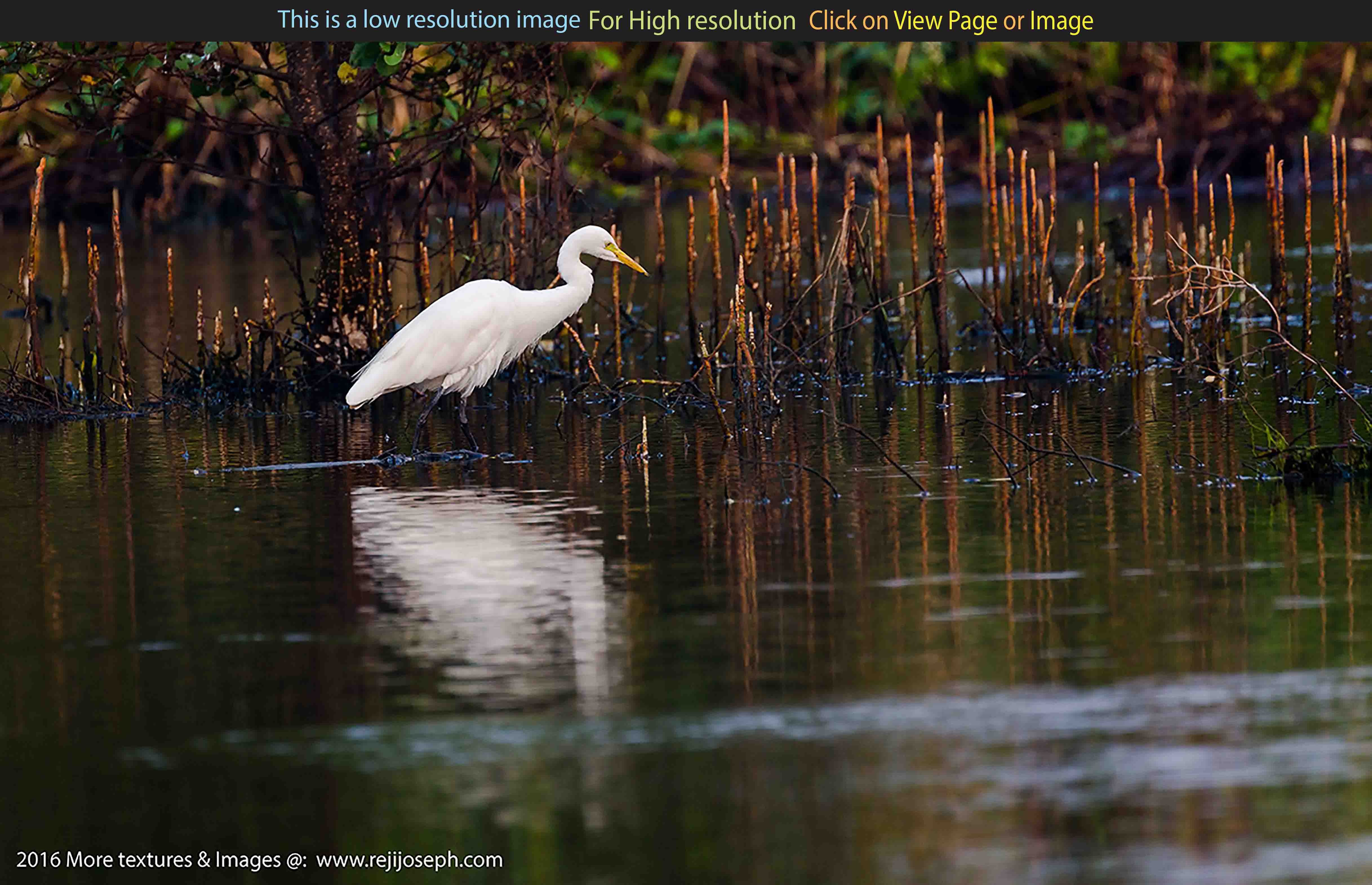 Great Egret bird 00001