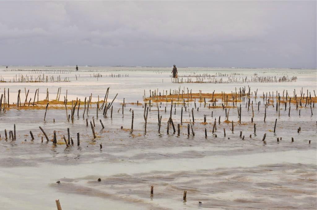 zeewierplantage, afrika, zanzibar, indische oceaan, seaweed farm