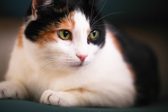 Portrait of a beautiful but obese calico cat