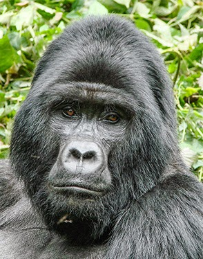 RUKINA, the former dominant silverback in the Ruhiija sector based Kyaguriro family passed on,  on Easter Monday April 6th,2015.It is estimated t...
