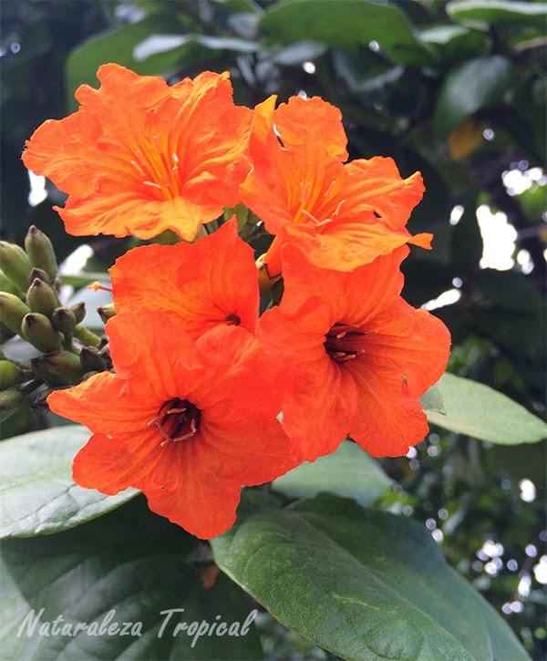Flor de Cordia sebestena