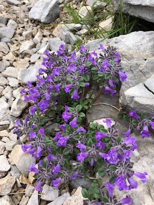 [Lamiaceae] Clinopodium alpinum – Alpine Calamint (Acino alpino)