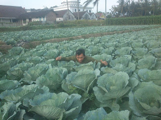 Complete Guide On How To Grow Cabbage A Right For Maximum results