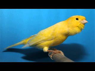 5 Ciri-ciri Burung Kenari Kalitan Yang Kicaumania Harus Tahu