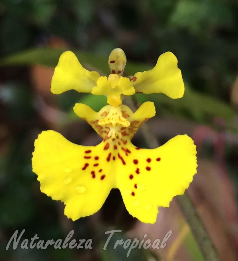 Flor característica de la orquídea bailarina, Tolumnia guibertiana