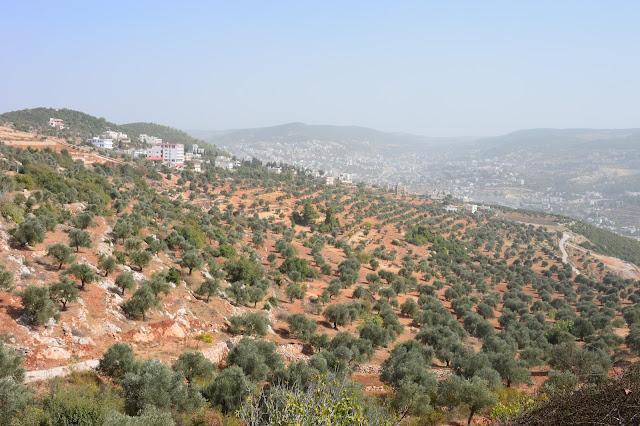 Champs d'oliviers à Ajloun