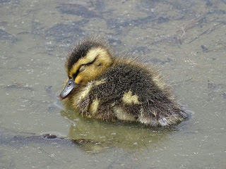 Pato en el estanque en obras del jardín botánico