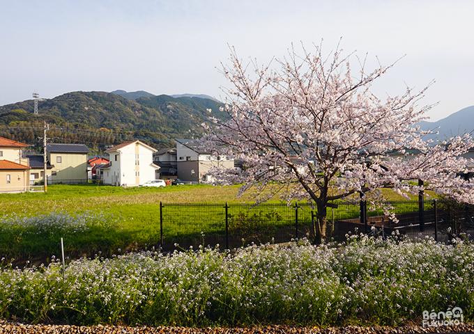福吉駅の桜