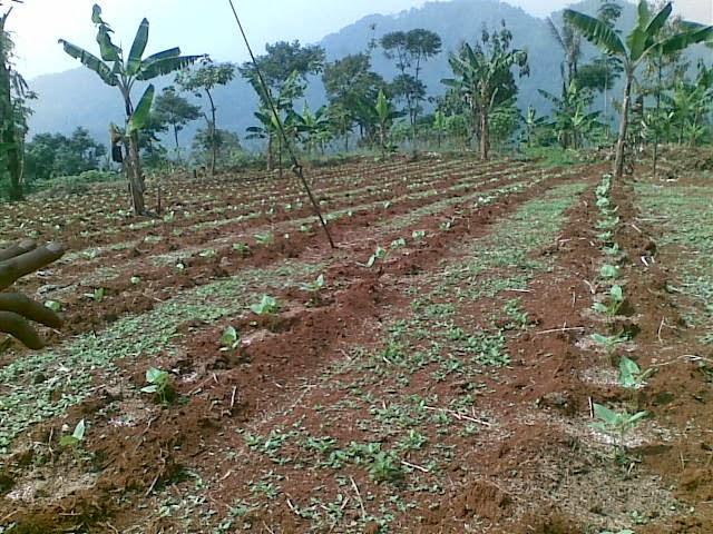 Foto(5089) Jual Tanah | Tanah Di jual, luas 4,25 ha kebun jual tanah di puncak