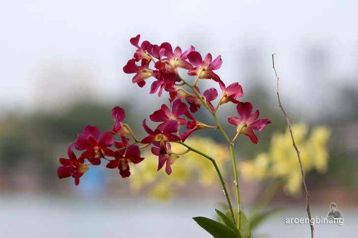anggrek merah dendrobium taman kota ria rio jakarta