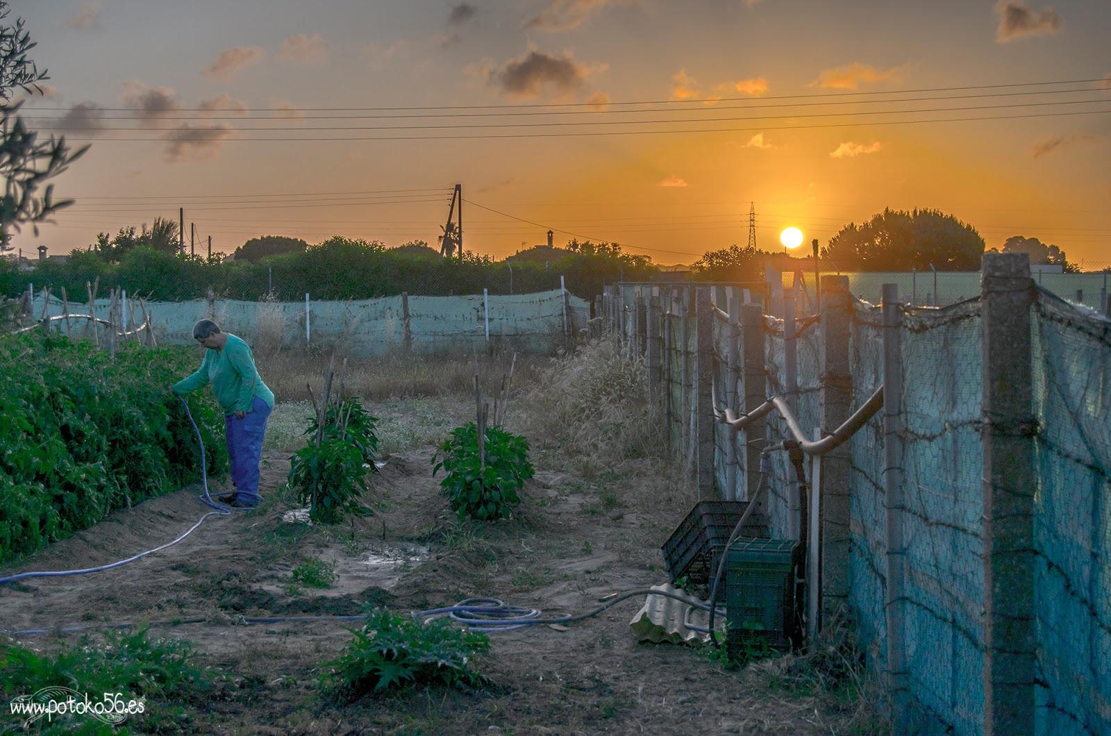 regando los tomatitos en el campo Rota