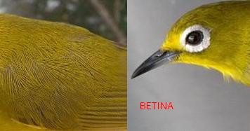 Ciri Ciri Burung Pleci Jantan Dan Betina Yang Perlu Diketahui Burung Mania