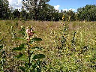 milkweed asclepias Ojibway prairie restoration windsor ontario ecological