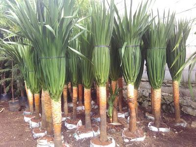 http://www.irzi-taman.com/search?q=pohon+pandan+bali