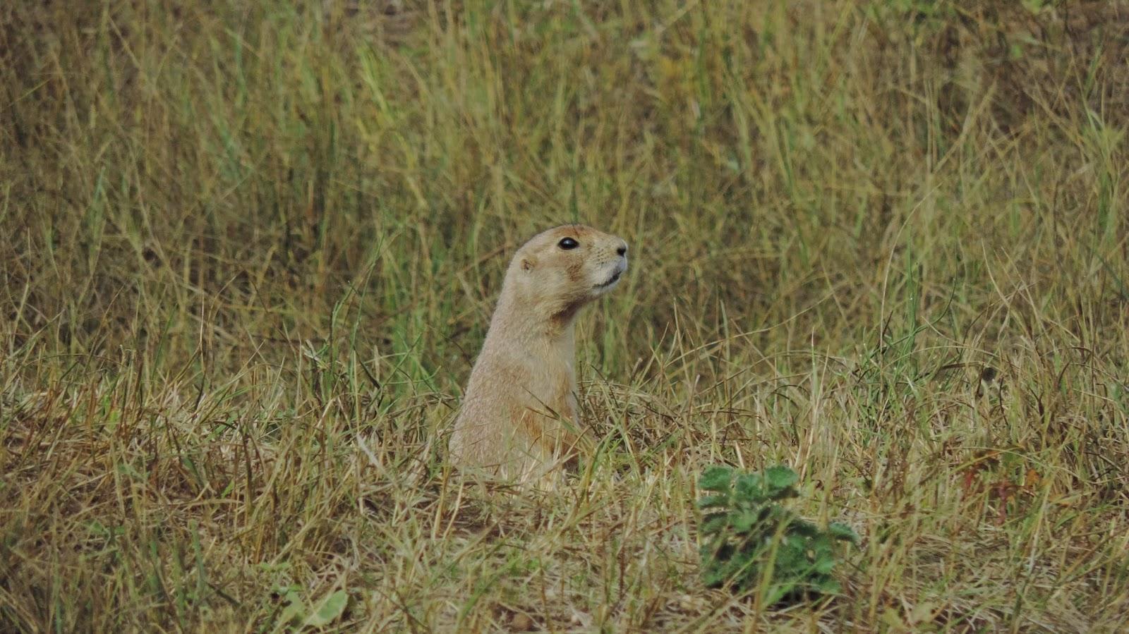 prairie dog 2015