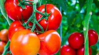 cara menanam cabe,cara menanam terong,cara menanam tomat hidroponik,cara menanam tomat dari biji,cara menanam sawi,cara menanam melon,cara menanam tomat di polybag,cara menanam jagung,