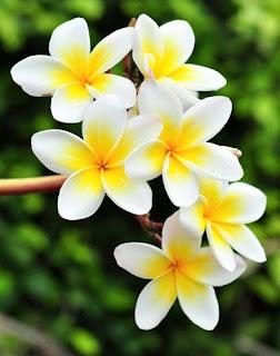bunga-kamboja-surabaya23