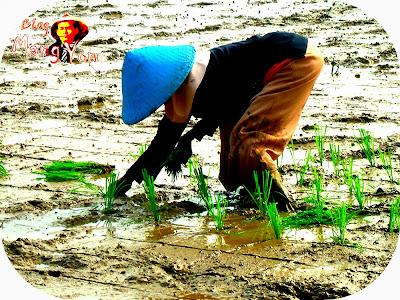"Kebiasaan Menanam Padi "" Tandur "" Berubah Jadi "" Tanju "" Model baru menanam padi di Pagaden Barat"
