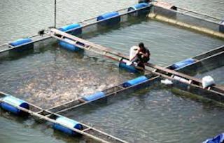 Teknik Budidaya Ikan Keramba Jaring Apung  Kabar Terbaru- TEKNIK BUDIDAYA IKAN KERAMBA JARING APUNG