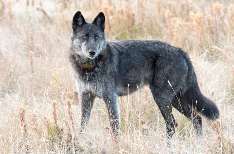 A Trophy Hunter Shot And Killed A Famous Yellowstone Wolf 'Spitfire'