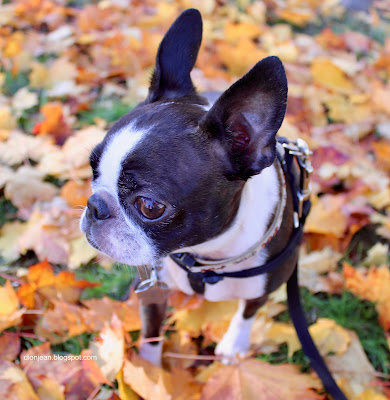 Sinead the Boston terrier in yellow leaves