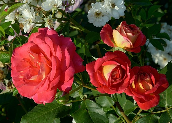 Midsummer сорт розы фото купить саженцы Минск