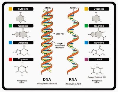 Diferenças entre o DNA e o RNA