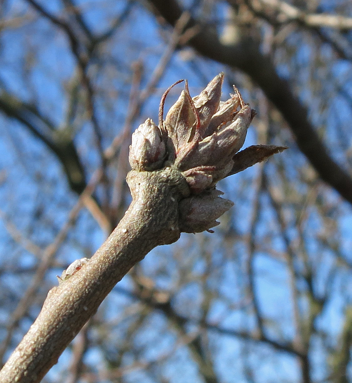 The tip of a turkey oak twig