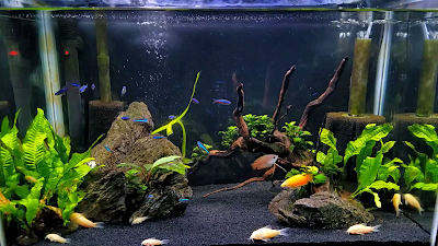 20-gallon community aquarium with albino cory catfish, honey gourami, green neon tetras, and amano shrimp