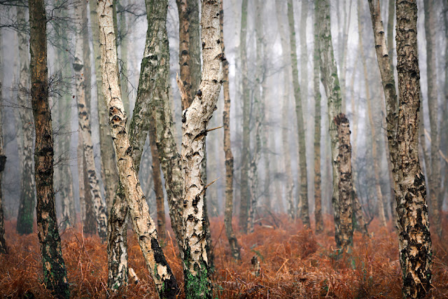 Silver birch trees in the Cambridgeshire Fens at Holme Fen