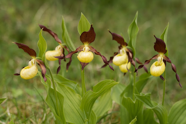 Lady's Slipper Orchids - Gait Barrows, Cumbria
