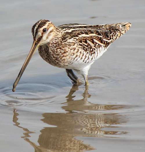 Indian birds - Picture of Common snipe - Gallinago gallinago