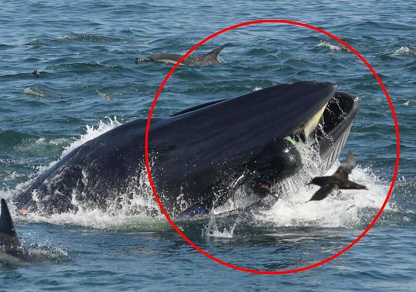 Baleia engole mergulhador inteiro. Mas o devolverá são e salvo na praia não muito depois