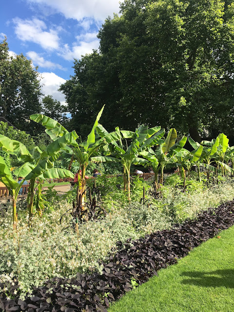 Banana trees, Embankment Gardens, London