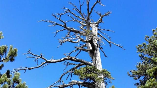Ιταλικό πεύκο 1.230 ετών! το γηραιότερο δέντρο στον κόσμο